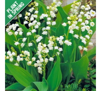 Lily Of The Valley Convallaria Flower Bulbs